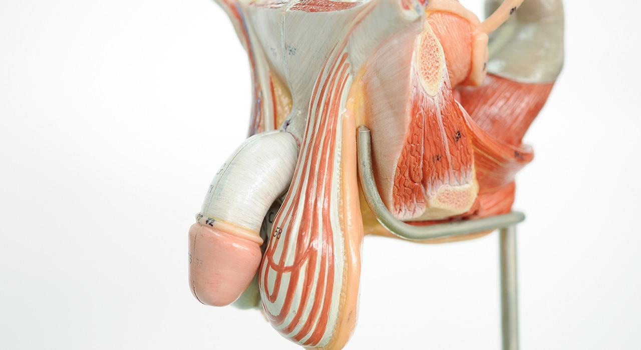 anatomia y fisiologia delos organos genitales masculinos
