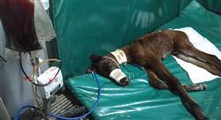 curso casos y situaciones clínicas especiales asociadas a la anestesia en especies mayores