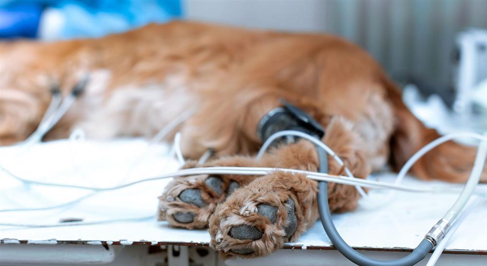 especializacion online diagnóstico y tratamiento quirúrgico de mínima invasión en pequeños animales
