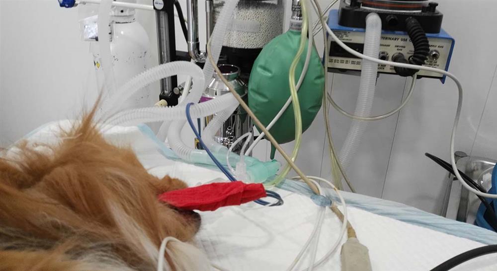 estudiar laparoscopia y toracoscopia en pequeños animales