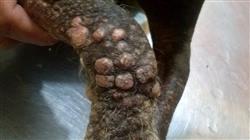 curso homologado capacitacion practica dermatologia pequenos animales