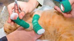 master semipresencial medicina cirugia felina