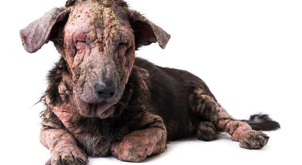 curso manejo de urgencias dermatológicas en pequeños animales