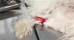 maestria online traumatología y cirugía ortopédica veterinaria