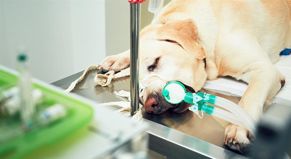 master cirugía veterinaria en pequeños animales