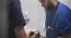maestria online cirugia veterianaria animales