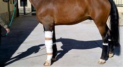 especializacion artroscopia heridas y enfermedades de desarrollo en especies mayores rumiantes camélidos suidos y équidos